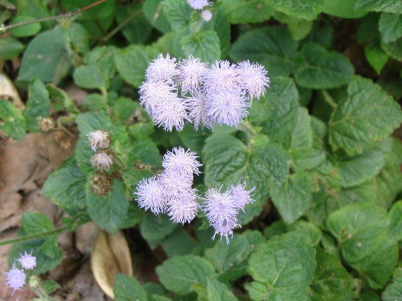 10. Hoa cúc áo (hoa cứt lợn)
